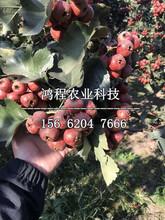 丰收红山楂苗报价、丰收红山楂苗基地图片