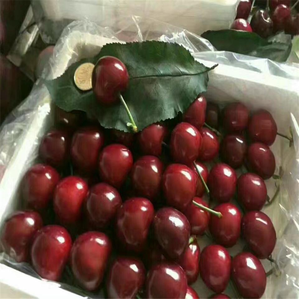 拉宾斯樱桃苗哪里购买、拉宾斯樱桃苗新品种