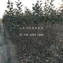 山东烟富11号苹果苗产地图片