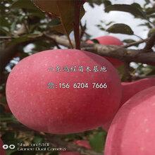 山東紅富士蘋果苗、紅富士蘋果苗價格及報價圖片