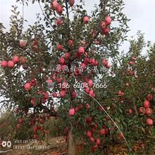 美八苹果苗、美八苹果苗价格图片
