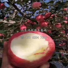 众成一号苹果苗、众成一号苹果苗供应价格图片