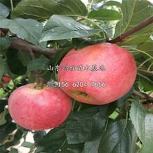 中间砧苹果苗批发出售图片