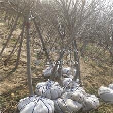 山东矮化苹果苗种植基地图片