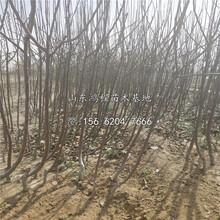 苹果苗新品种供应图片