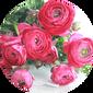 洋牡丹鲜花的正确养护!图片