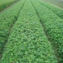 脱毒高产草莓苗基地、脱毒高产草莓苗出售图片