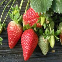 白草莓苗批发基地、白草莓苗供应价格图片