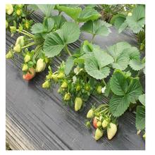 以色列二号草莓苗批发基地、以色列二号草莓苗供应价格图片