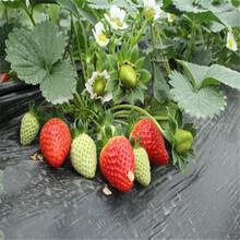 巨无霸草莓苗、巨无霸草莓苗价格图片