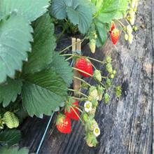 童子一号草莓苗基地、童子一号草莓苗出售图片