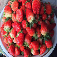 牛奶草莓苗批发、牛奶草莓苗出售价格图片
