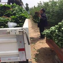 石莓七号草莓苗基地、石莓七号草莓苗出售图片