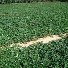 津美22号草莓苗基地、津美22号草莓苗批发图片