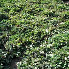 小白草莓苗批发基地、小白草莓苗供应价格图片