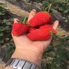 玛雅草莓苗批发基地、玛雅草莓苗出售图片