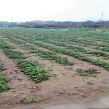 妙香3号草莓苗批发基地、妙香3号草莓苗出售价格图片