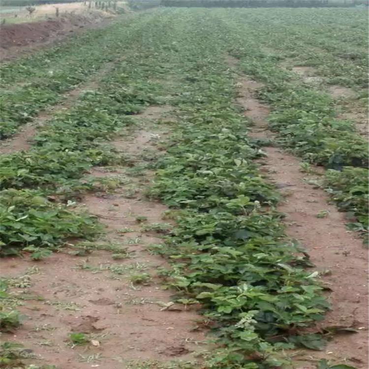 棚内草莓苗价格、棚内草莓苗供应价格