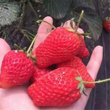 菠萝蜜草莓苗基地、菠萝蜜草莓苗供应价格图片