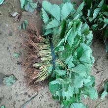 红宝石草莓苗批发基地、红宝石草莓苗供应价格图片