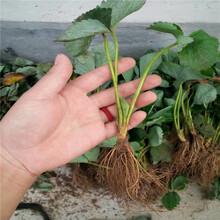 沐心草莓苗基地、沐心草莓苗供应价格图片