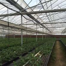 卡姆萝莎草莓苗基地、卡姆萝莎草莓苗出售价格图片