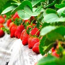 梦香草莓苗基地、梦香草莓苗出售图片