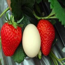 露天高产草莓苗批发基地、露天高产草莓苗出售价格图片