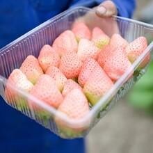 红花草莓苗批发基地、红花草莓苗出售价格图片