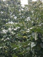 黃粟蒲板栗樹苗出售、黃粟蒲板栗樹苗包郵圖片