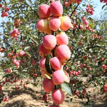 津轻苹果苗出售价格、津轻苹果苗最新价格图片