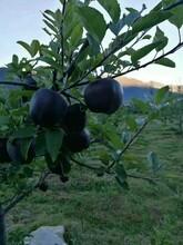美八苹果苗基地、美八苹果苗行情价格图片