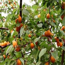 丰人杏树苗基地与产地、丰人杏树苗每天价格图片