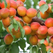 两公分杏树苗出售、两公分杏树苗供应图片