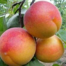 鲁南早红杏杏树苗基地与产地、鲁南早红杏杏树苗批发基地图片