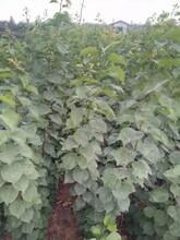 红玉杏树苗基地与产地、红玉杏树苗山东基地图片