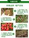 瓜果蔬菜都能用的邦恒em菌花草壯增強養分吸收提高抗病力