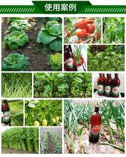 种植玉米甘蔗等农作物用花草壮,秸秆挺拔抗倒伏,成熟快,产量高图片