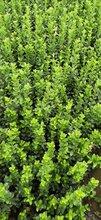 低价出售青州扶芳藤绿化苗木扶芳藤种植基地供应商