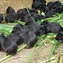 湖北隆潤農業黑豚鼠的生長發育圖片