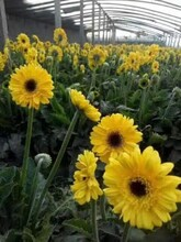 九江哪里有非洲菊种植园非洲菊图片