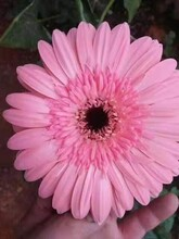 辽宁哪里有非洲菊种苗报价景鑫花卉种植非洲菊图片