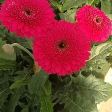 辽宁哪里有非洲菊供应景鑫花卉种植图片