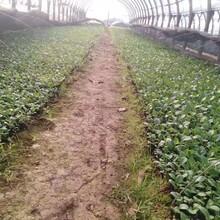 吉安哪里有非洲菊种苗批发非洲菊图片