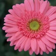 辽宁哪里有非洲菊种苗批发景鑫花卉种植图片
