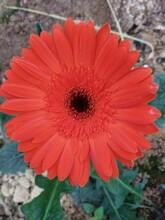 萍乡哪里有非洲菊种苗价格非洲菊图片