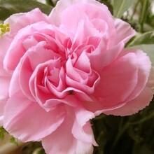 福建哪里有康乃馨哪家好景鑫花卉种植康乃馨图片