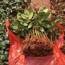 辽宁哪里有玫瑰花苗种苗报价景鑫花卉种植图片