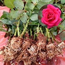 湖北玫瑰花苗培育玫瑰苗圖片