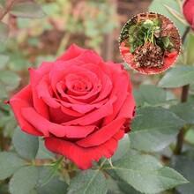 聊城供应玫瑰花苗种苗价格玫瑰苗图片